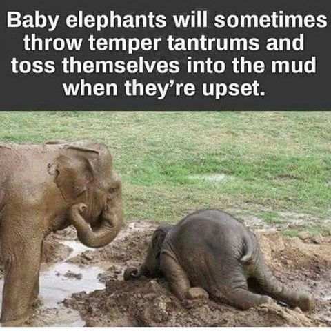 Elephant Tantrums