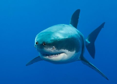 shark with eyes at the front