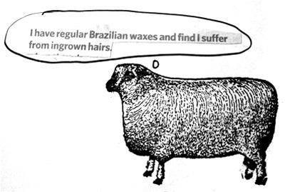 Sheep41